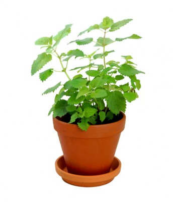 live mint herb plants from Home Essentials in Central Hong Kong