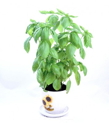 Sweet basil plant live herbs Hong Kong Home Essentials Central HK
