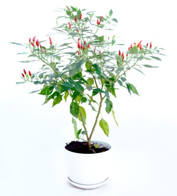 chili plants live plant herb garden Hong Kong Home Essentials HK