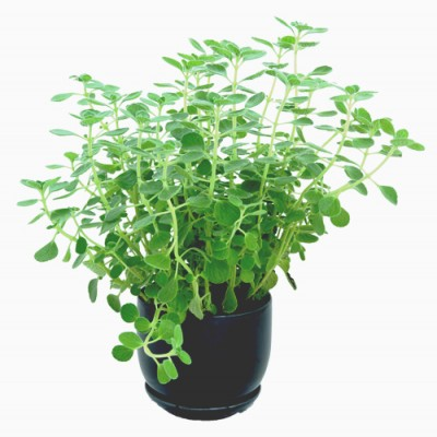 Oregano plants live plant herb garden Hong Kong Home Essentials HK