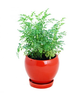 Thyme plants live plant herb garden Hong Kong Home Essentials HK